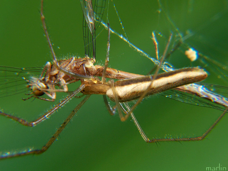 Spider with Damselfly Prey