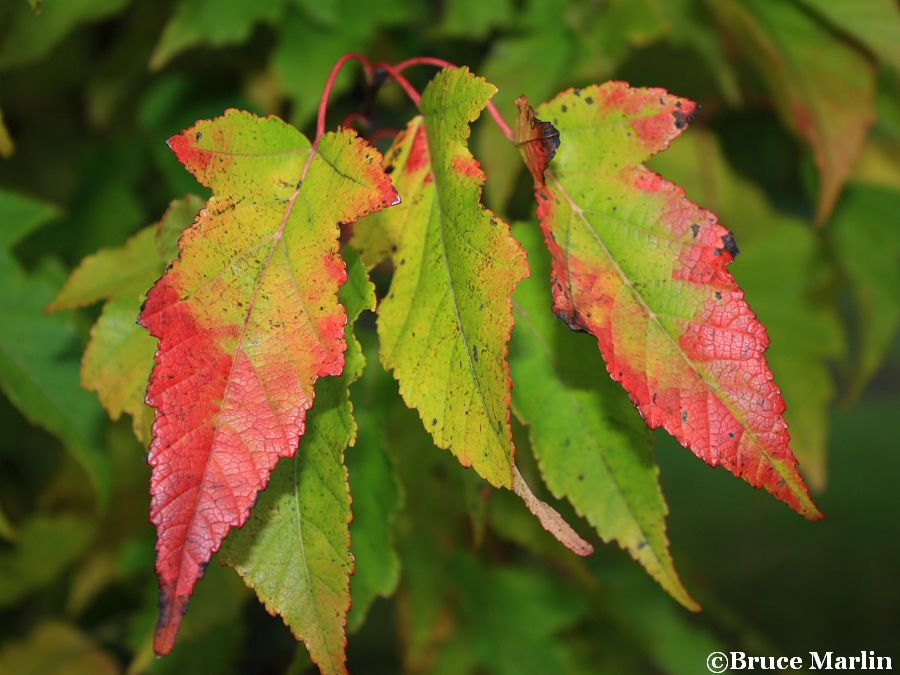 Durand Dwarf Maple fall colors