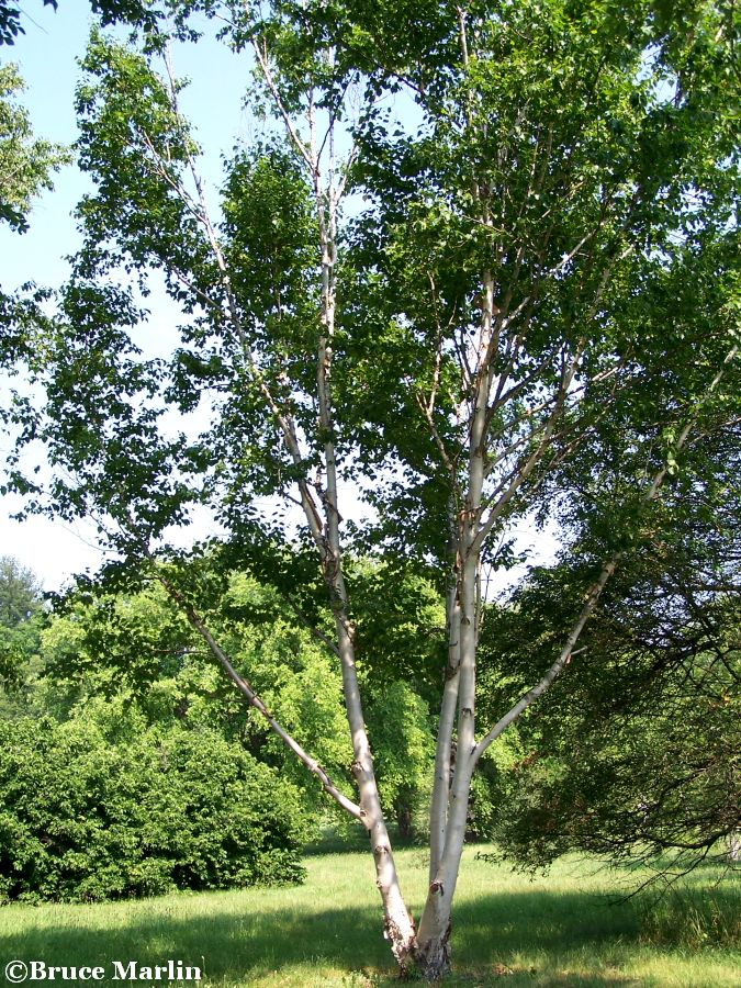 Dahurian birch in summer
