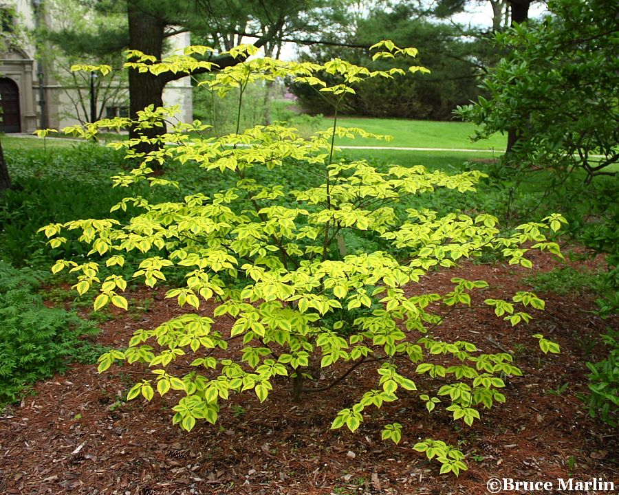 Golden Shadows™ Dogwood