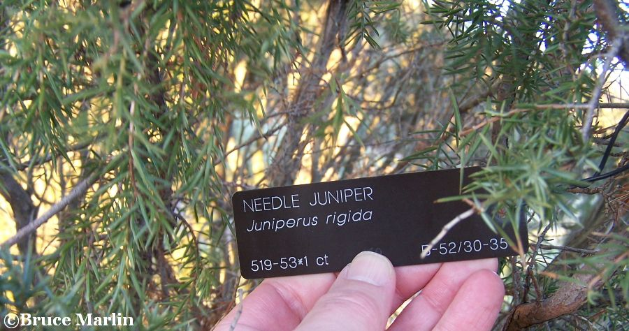 Needle Juniper foliage