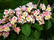 Damask Red Horse Chestnut - Aesculus x carnea 'Plantierensis'
