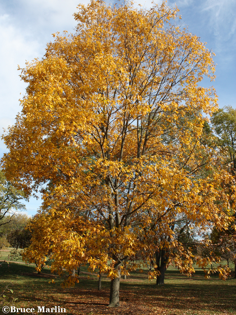 Bitternut Hickory in Autumn Foliage