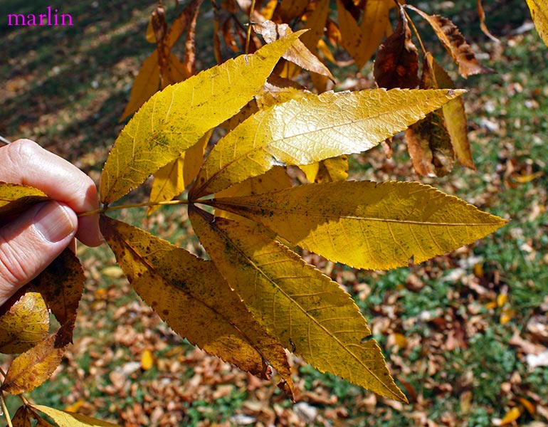 Bitternut Hickory fall foliage