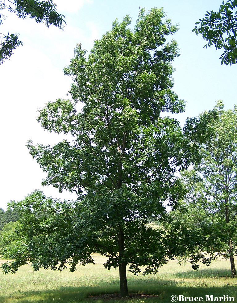 Bitternut Hickory in Summer Foliage