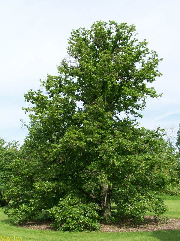 Big-leaf Linden Tree