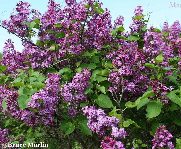 'Fuerst Beulow'  common Lilac