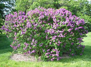 Fuerst Buelow Common Lilac - Syringa vulgaris 'Fuerst Beulow'