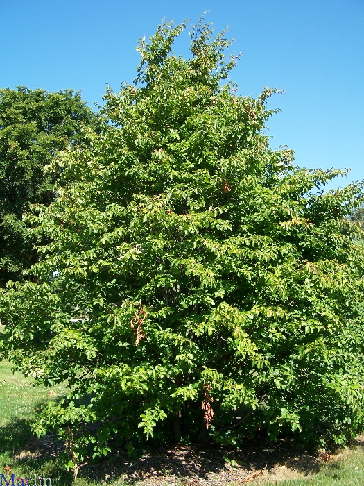 Persian Ironwood Tree