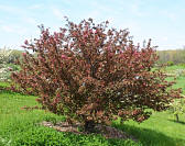 Burgundy Crabapple - Malus 'Burgundy'