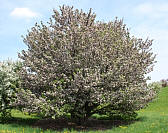 Rivers Chinese Flowering Crabapple - Malus spectabilis 'Riversii'