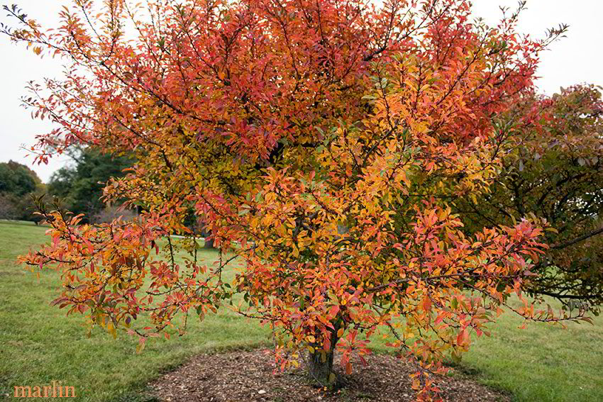 Hall Crabapple in fall colors