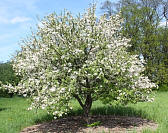 Plum-leaved Crabapple - Malus prunifolia