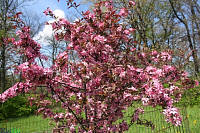 Royal Raindrops™ Crabapple - Malus 'JFS-KW5'