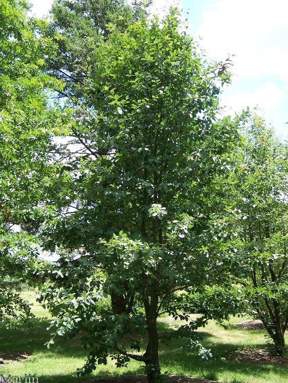 Swedish Whitebeam - Sorbus intermedia