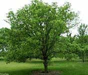 Hackberry - Celtis occidentalis