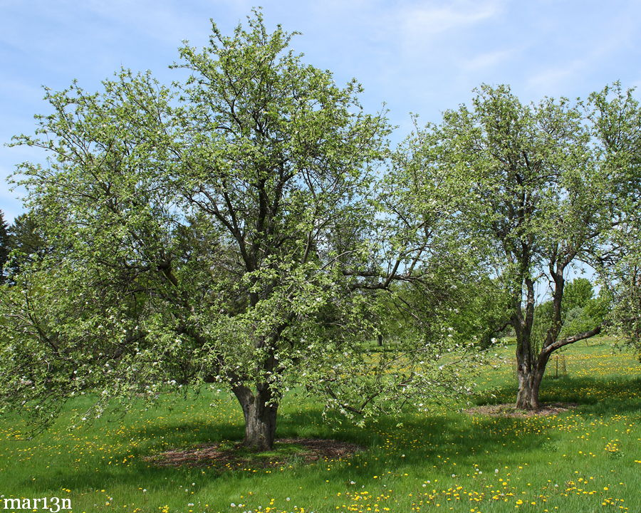 apple trees in lawn with dandelions