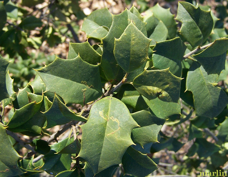 Canary American Holly Foliage