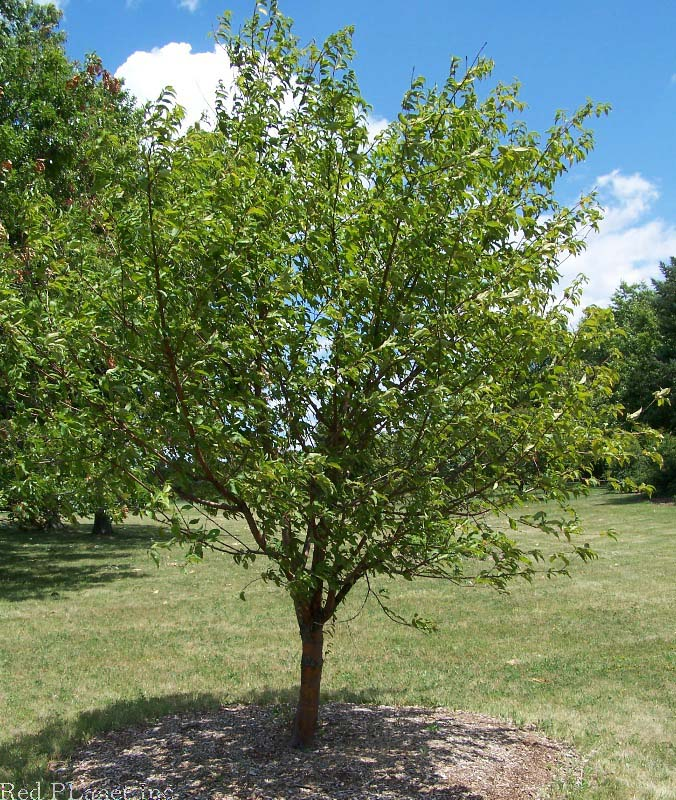 Afficher le sujet dois je faire abattre mon cerisier - Maladie du cerisier ...