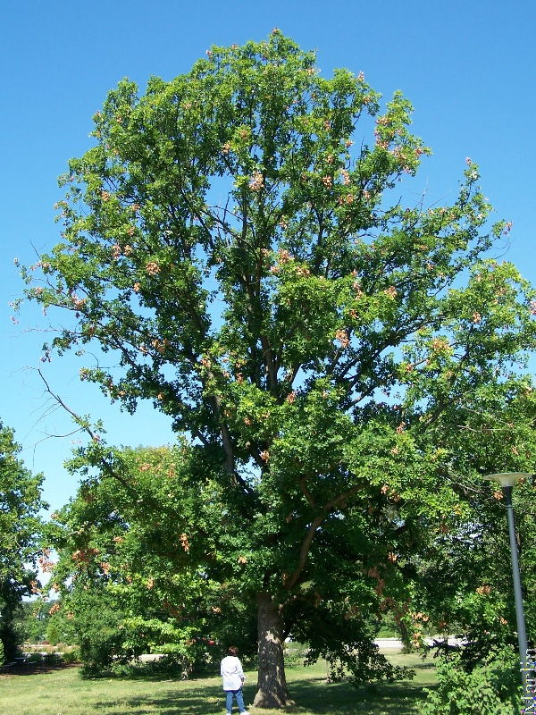 65-foot tall English Oak
