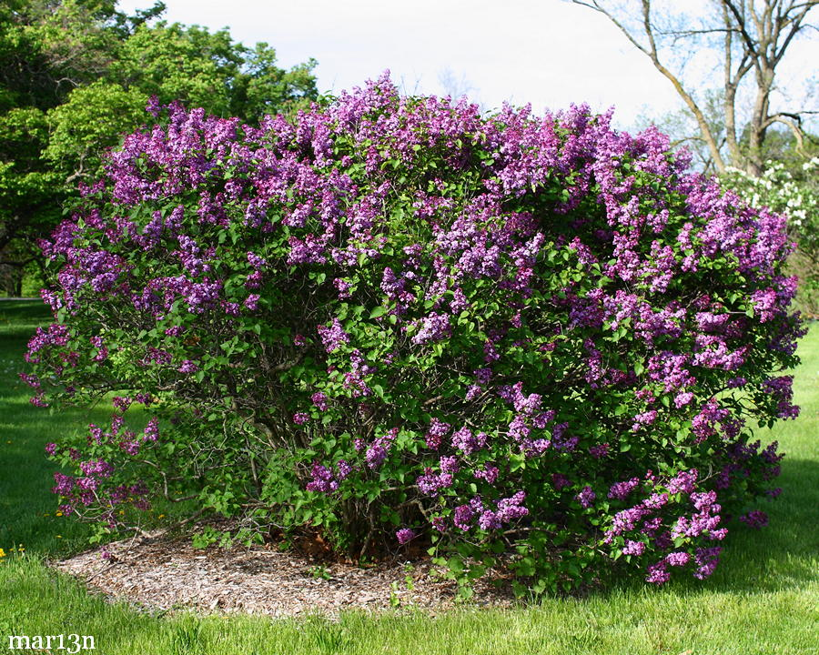 Fuerst Buelow Common Lilac