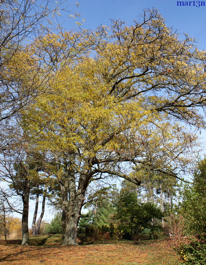 Honey Locust fall colors