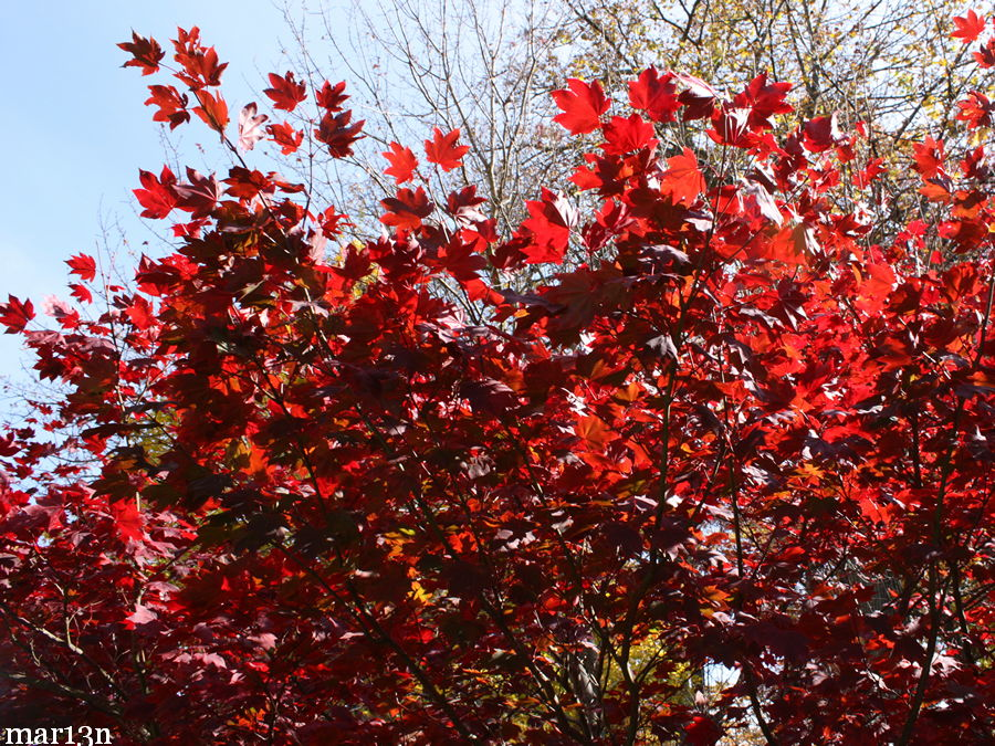 Japanese Maple Scarlet Fall Foliage