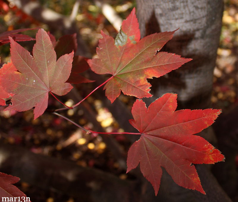 Japanese Maple Leaflets