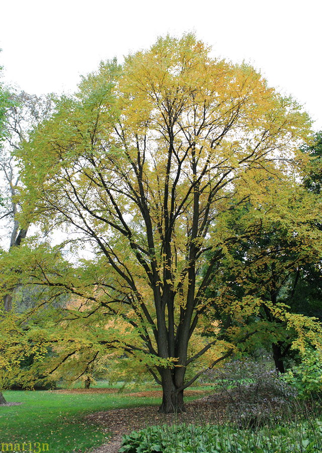 Katsura tree in yellow fall colors