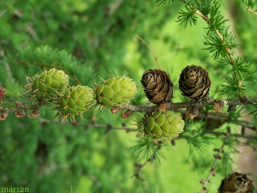 Cones, green new and ripe brown