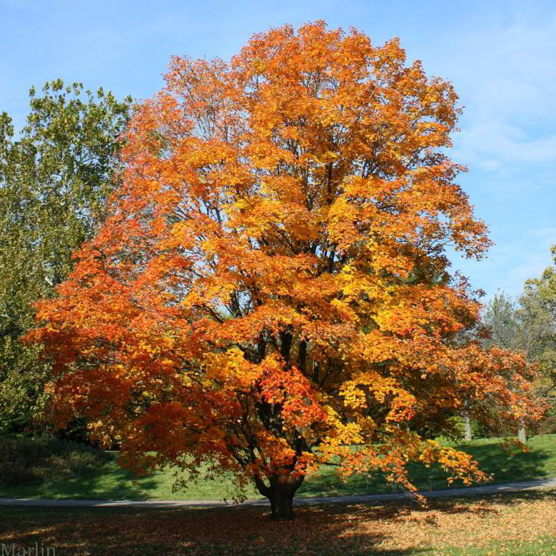 Sugar Maple - Acer saccharum