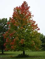 Bowhall Red Maple - Acer rubrum 'Bowhall'