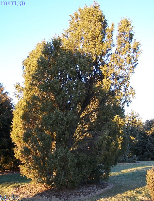 Needle Juniper - Juniperus rigida