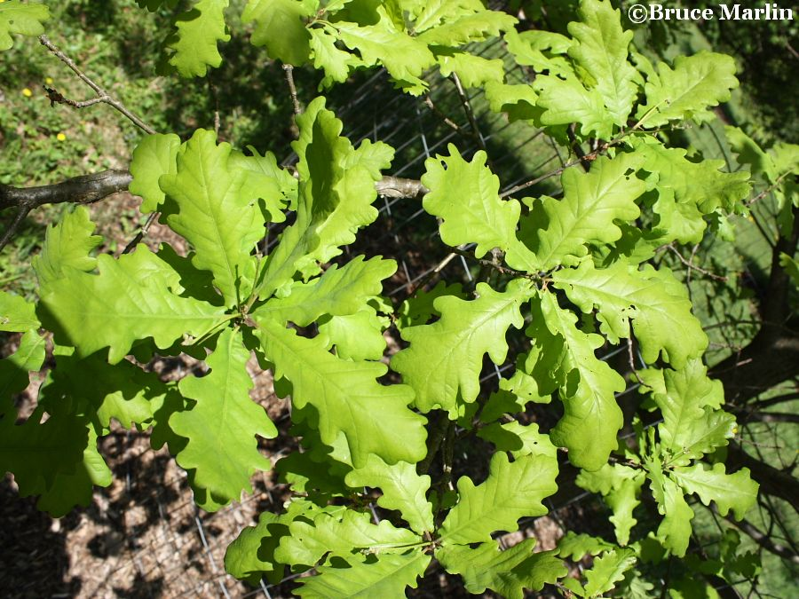 English oak spring foliage