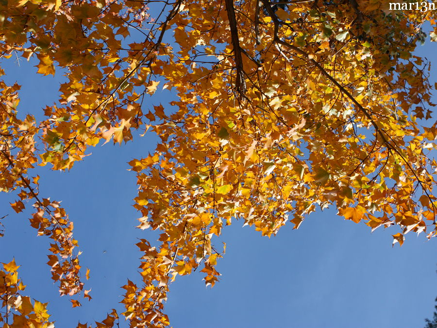 Painted Maple yellow fall foliage against blue sky