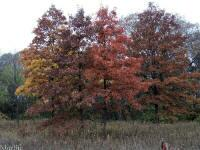 Pin Oak Trees