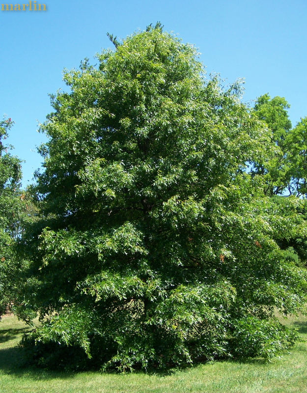 Pin Oak Tree in Summer