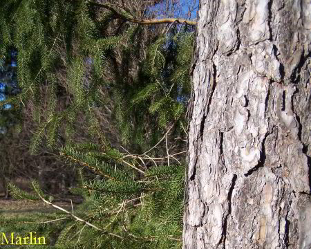 Scots Pine Bark and Foliage
