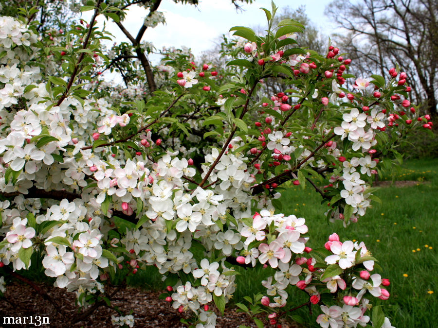 Ralph Shay Crabapple blossoms