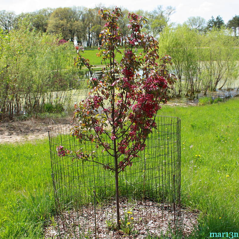 Red Barron Crabapple