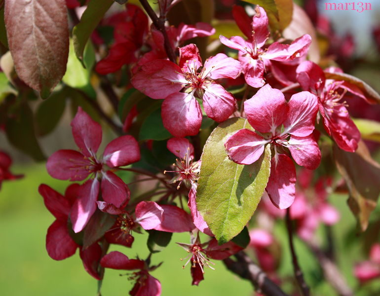 Red Barron Crabapple blossoms