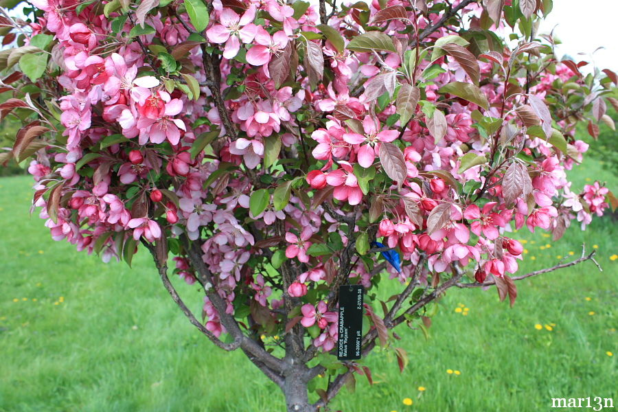 Rejoice Crabapple blossoms