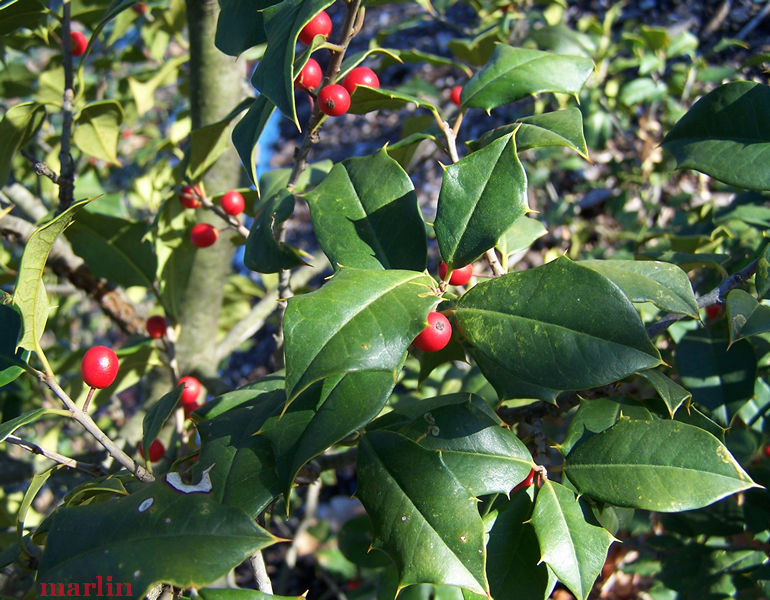 Shannon Chiles American Holly