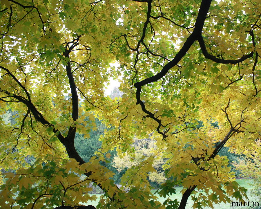 Shantung Maple foliage from underneath