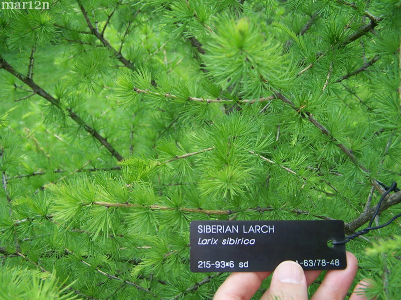 Siberian larch foliage