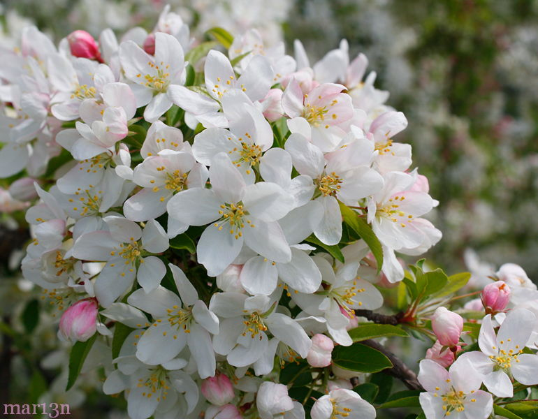 Sugar Tyme™ Crabapple's snow-white flowers
