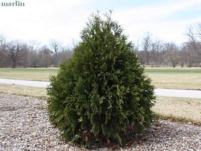 Family Cupressaceae Redwood Cypress Arborvitae