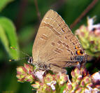 Banded Hairstreak Butterfly - Satyrium calanus