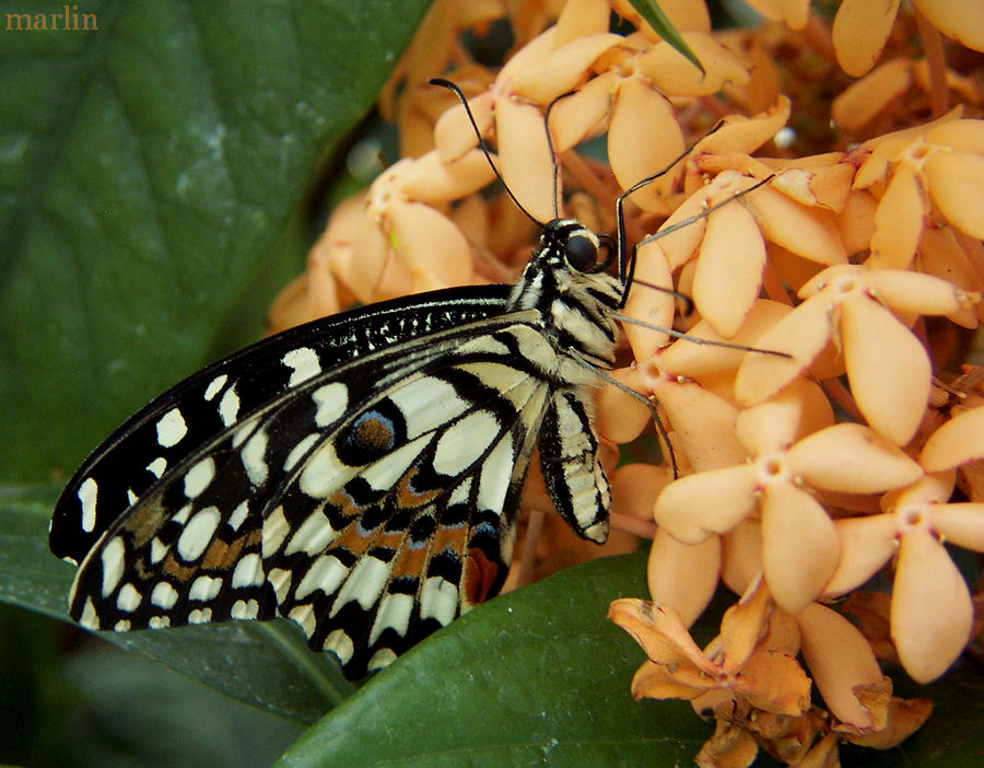 Checkered Swallowtail - Papilio demoleus