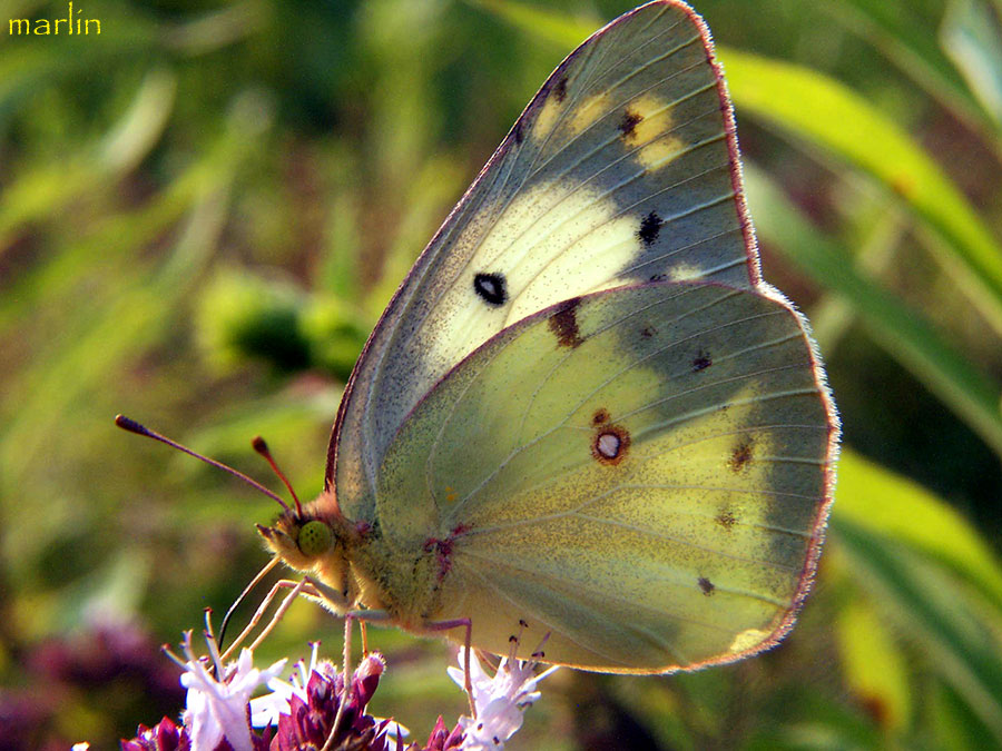 Beachgirl's Blog: My Yard ~ Cloudless Sulphur Butterfly |Clouded Sulphur Butterfly